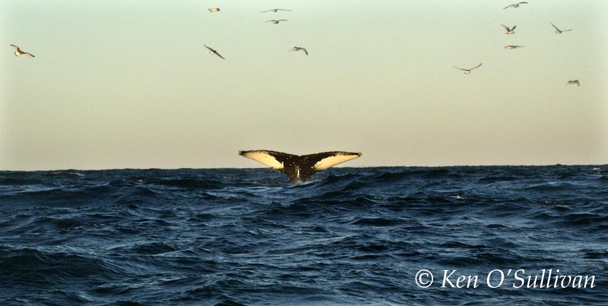 best-of-humpback-dolphin-bird-feeding-frenzy-00_42_27_04-still003-edit