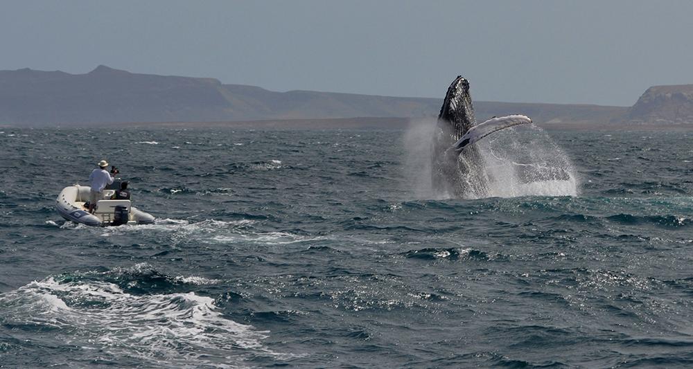 Filming a breaching humpback, nervously, off Boa Vista, Cape Verde 2011 Photo Pedrin Lopez Suarez 1000